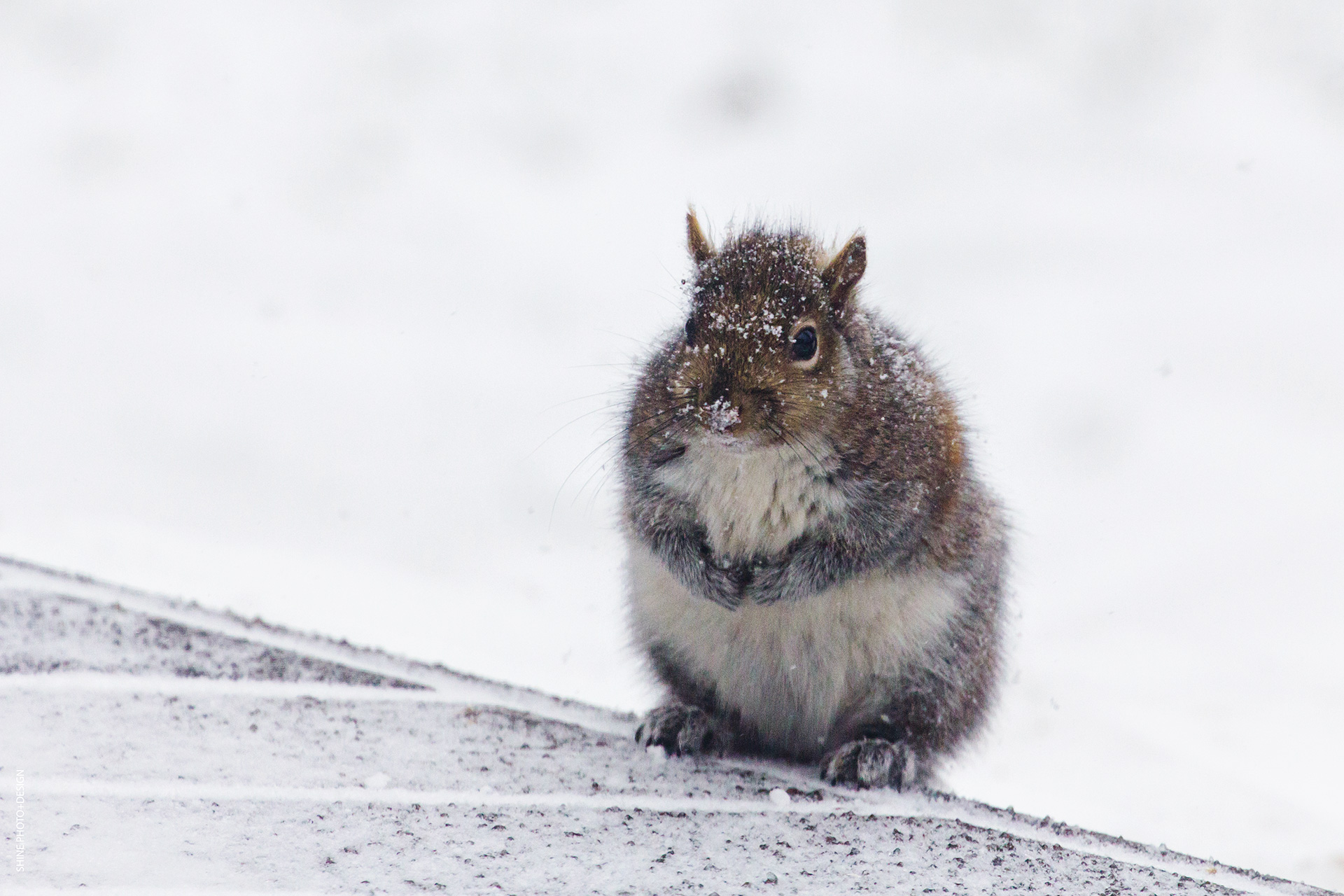 snowy squirrel by SHINE PhotoDesign