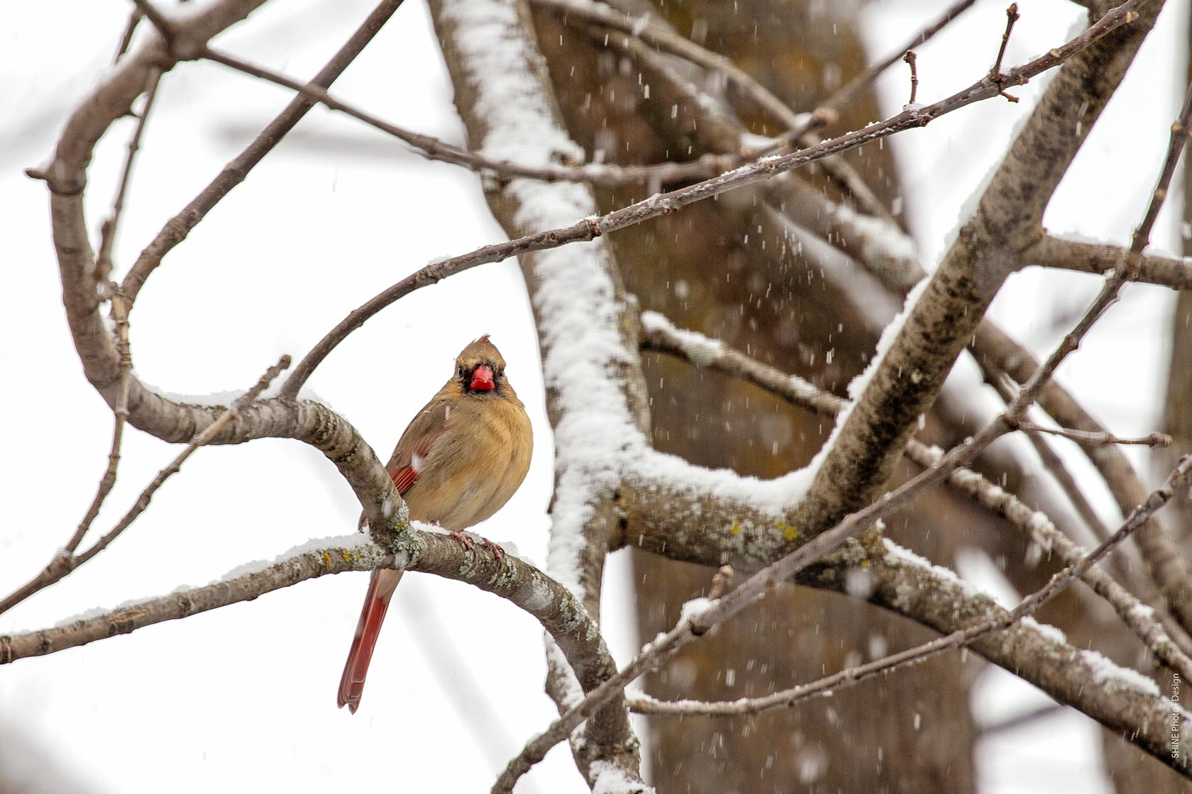 Female Cardinal by SHINE Photo+Design