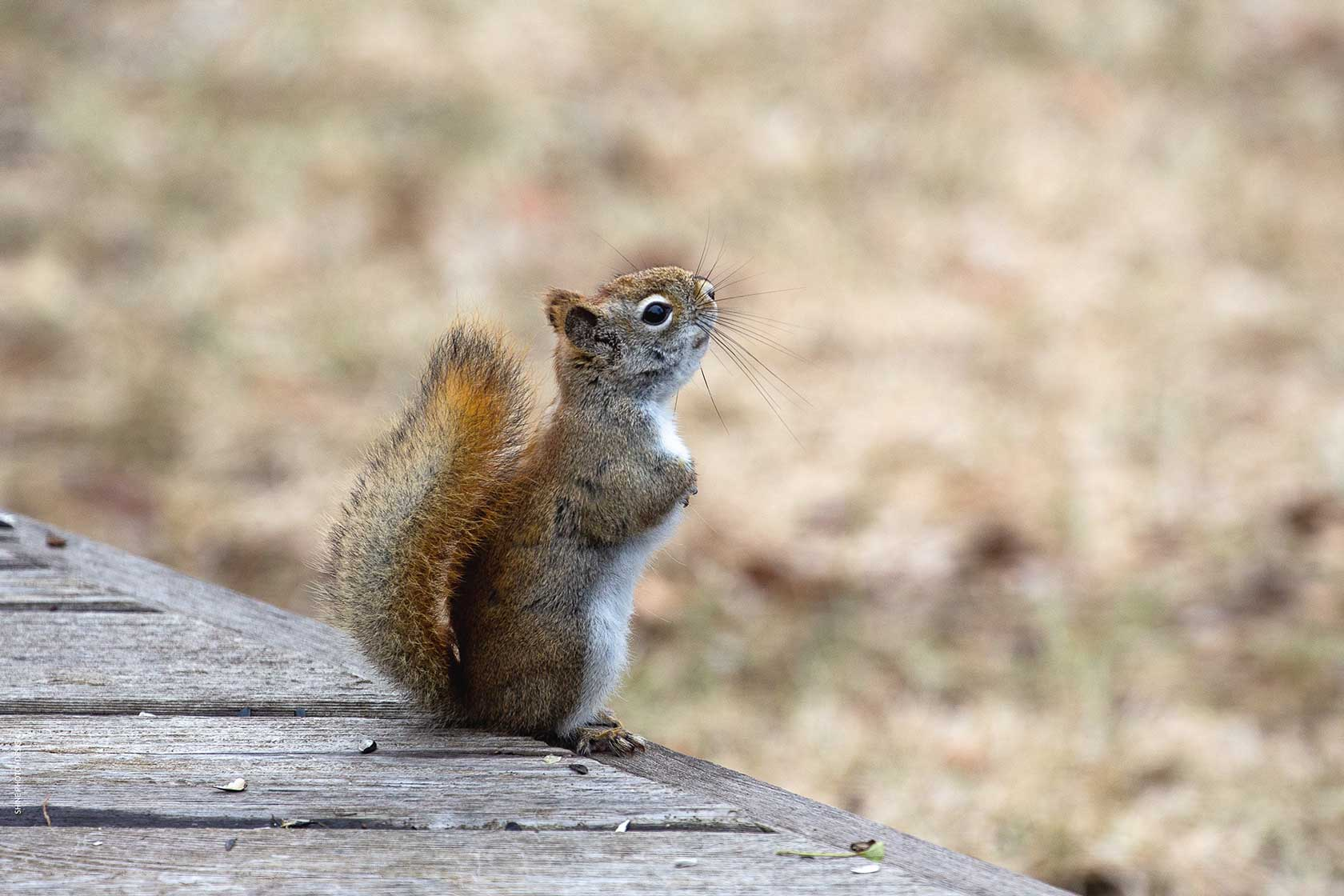 American Red Squirrel by SHINE Photo+Design