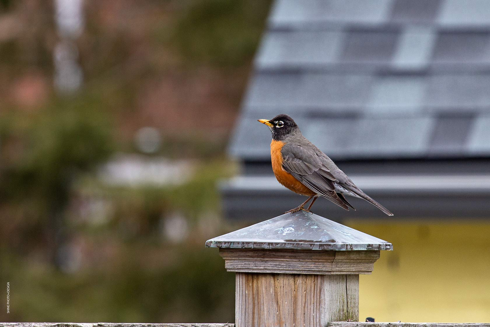Spring Robin by SHINE Photo+Design