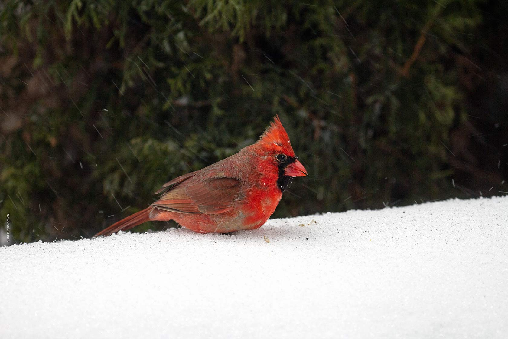 Cardinal in the Snow by SHINE Photo+Design