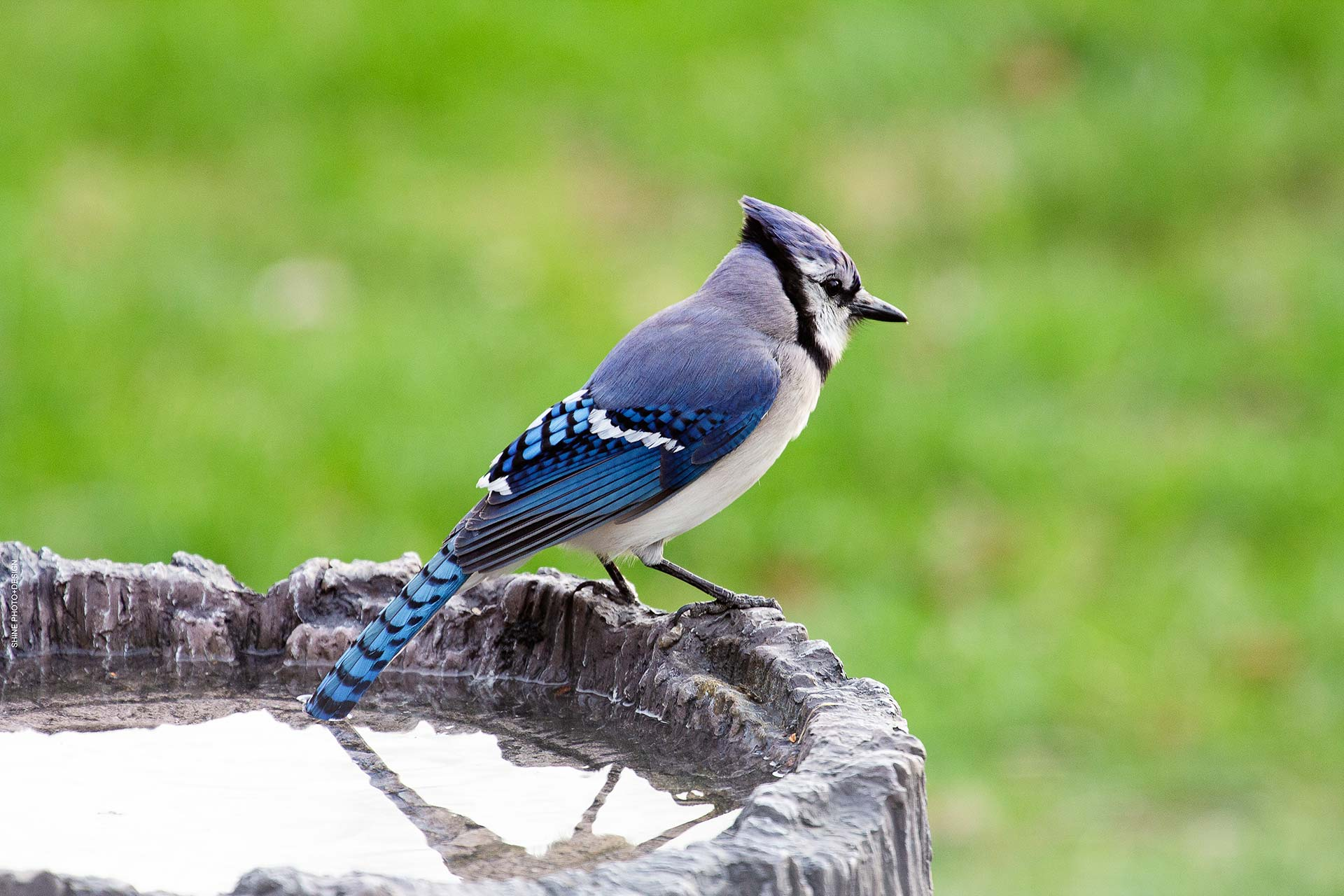 Blue Jay by SHINE Photo+Design