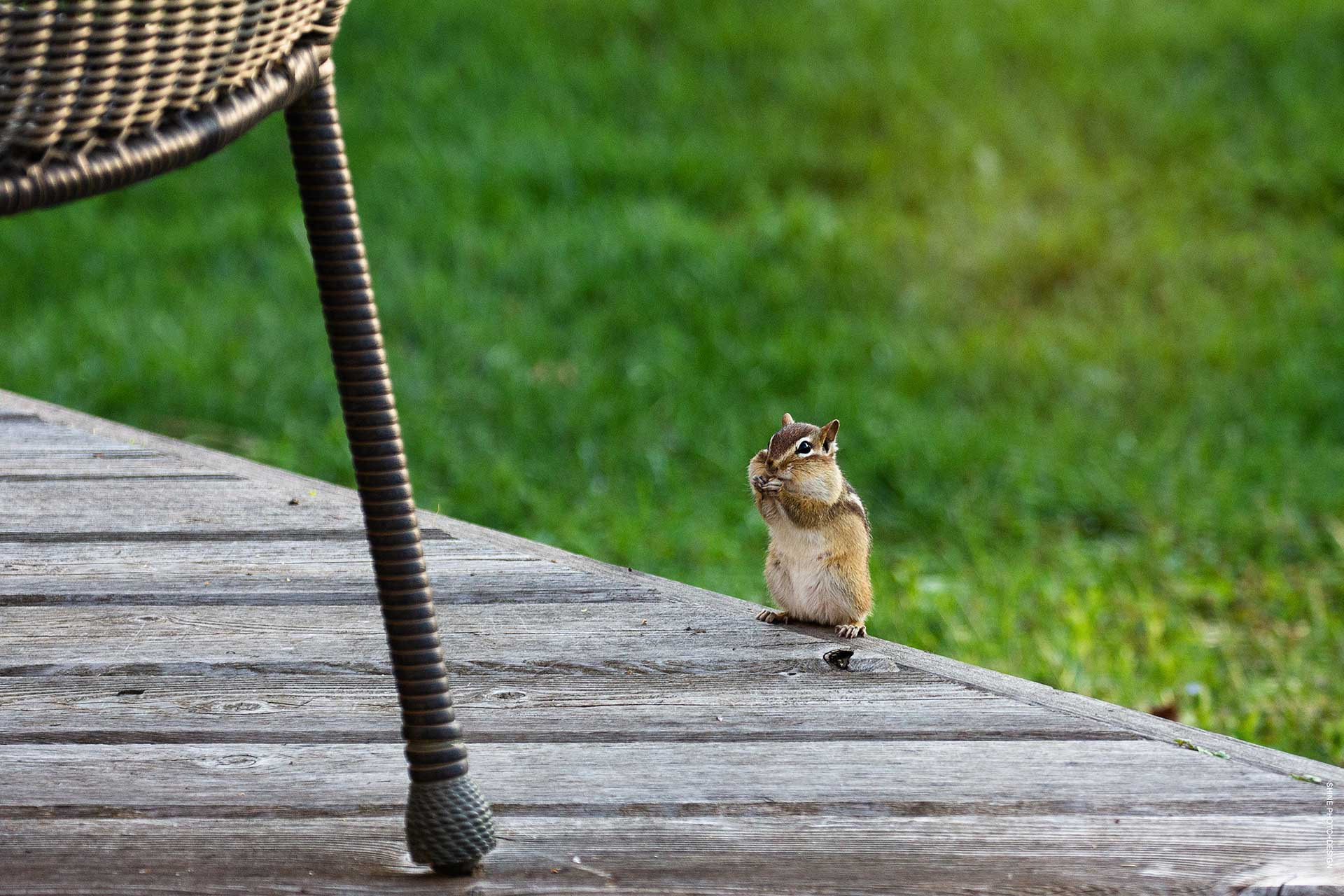 chipmunk by SHINE Photo+Design