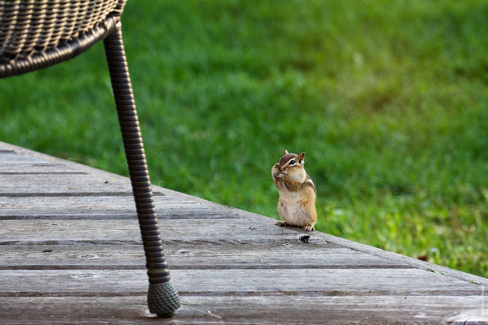 chipmunk by SHINE Photo+Design