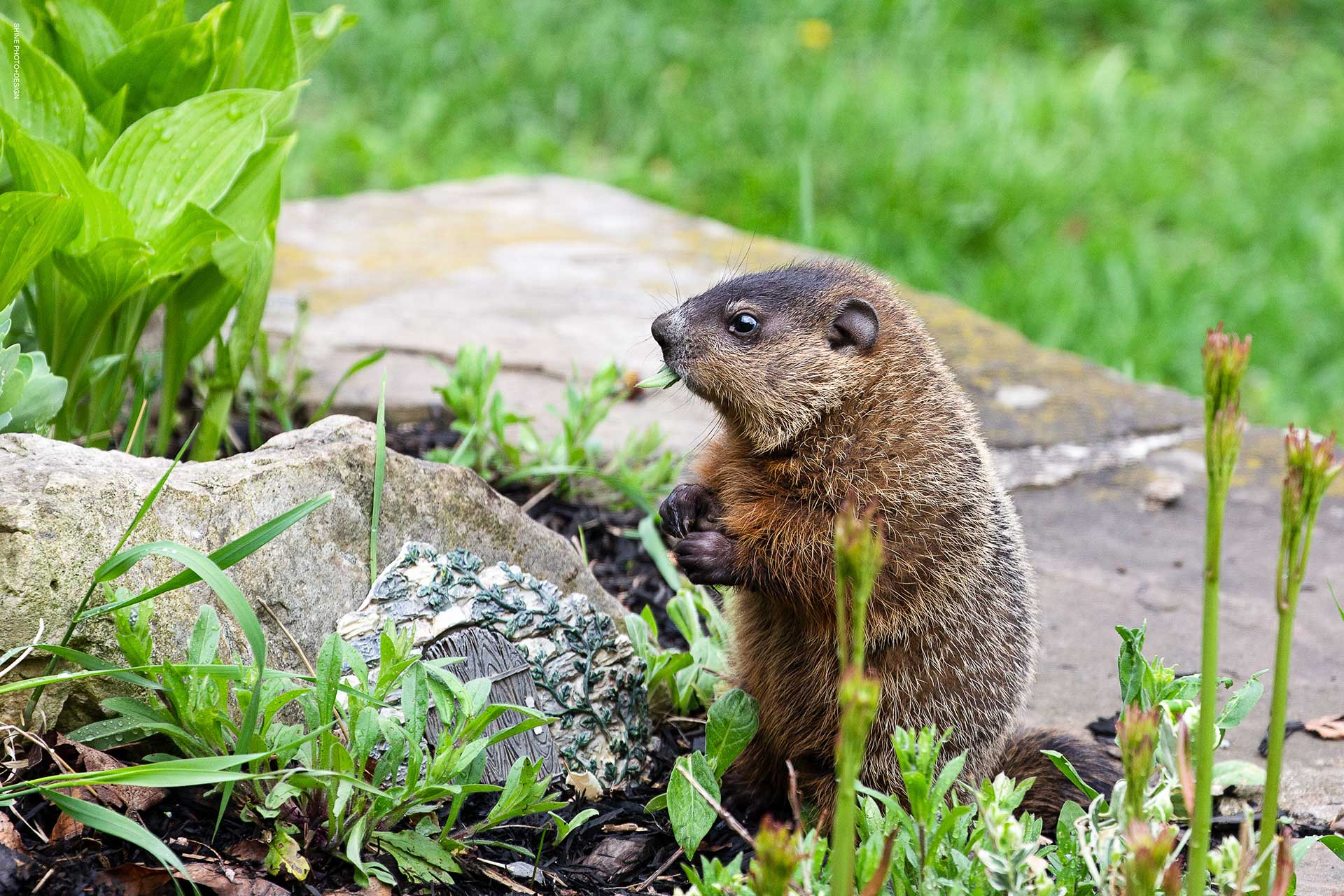 baby groundhog by SHINE Photo+Design