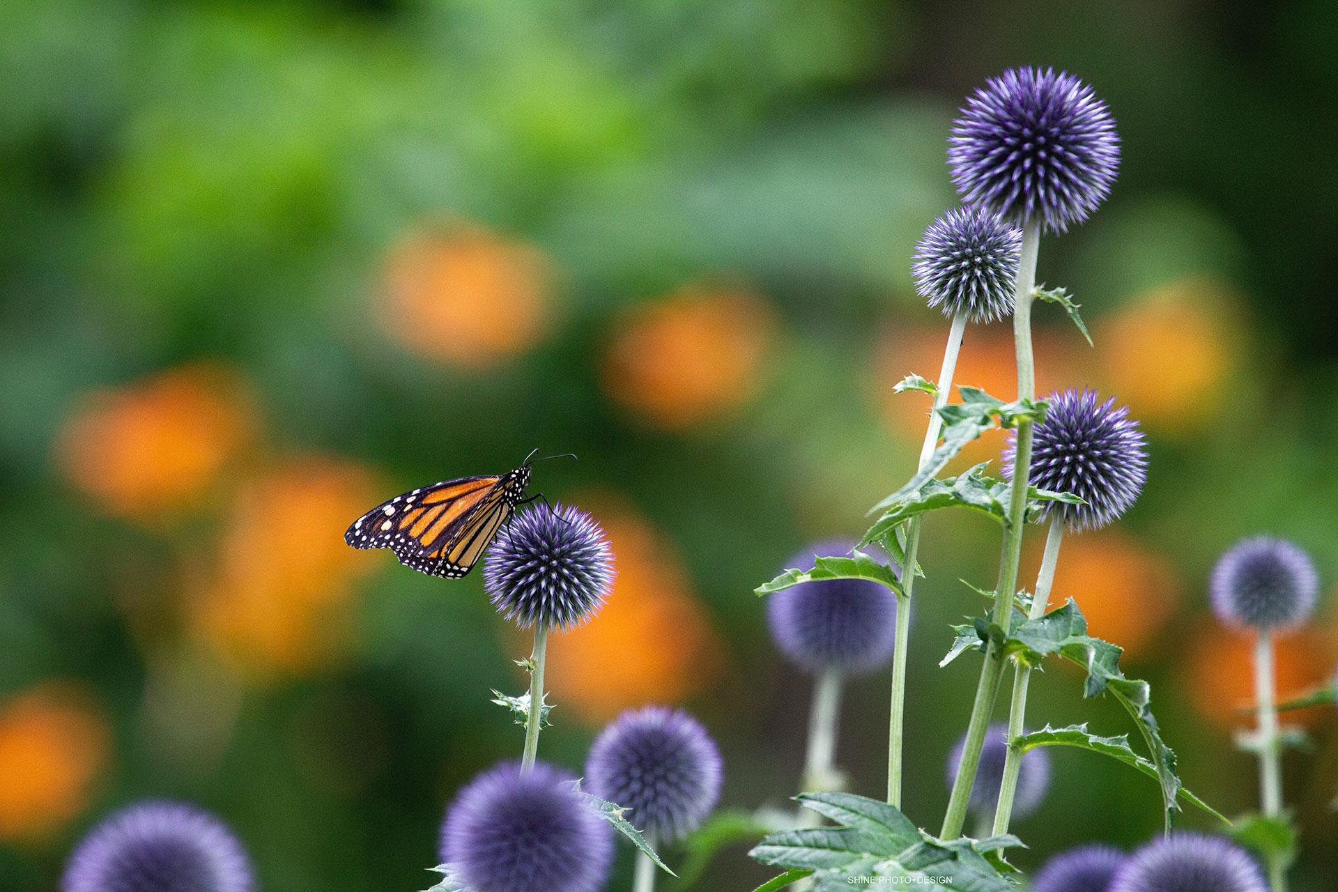 Monarch on Globe Thistle by SHINE Photo+Design