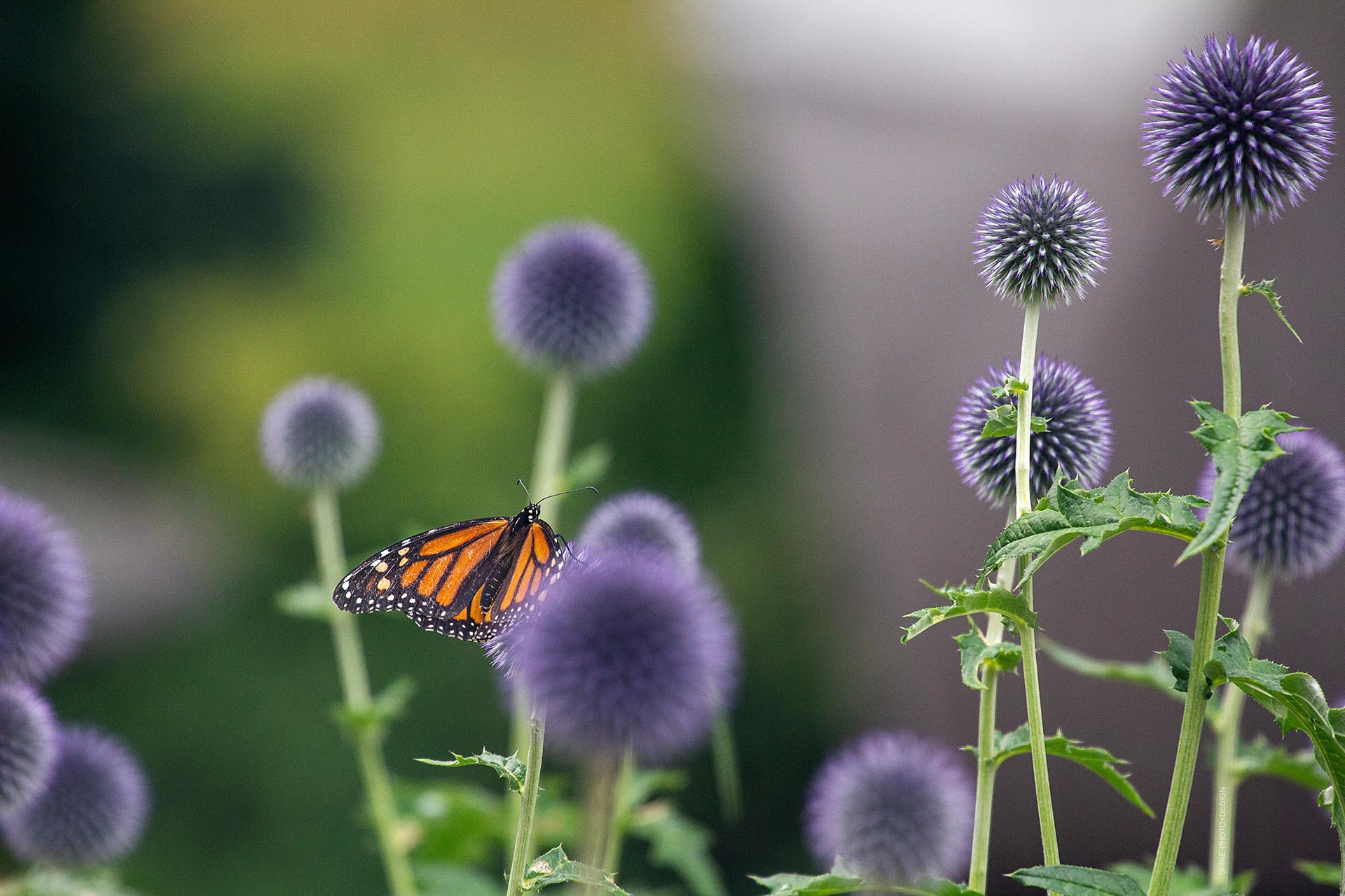 Monarch on Thistle by SHINE Photo+Design