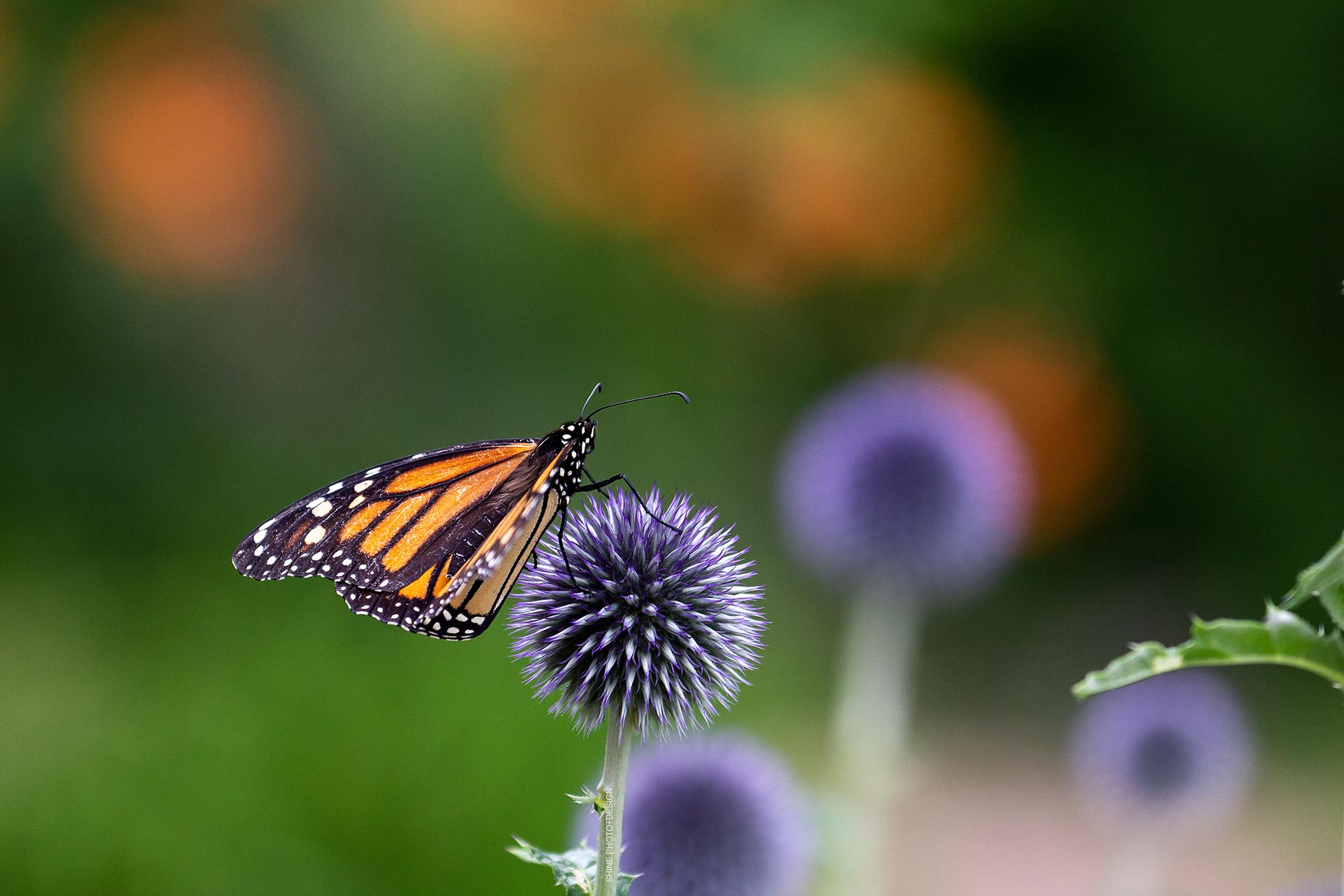 Monarch on Globe Thistle by SHINE Photo+Design