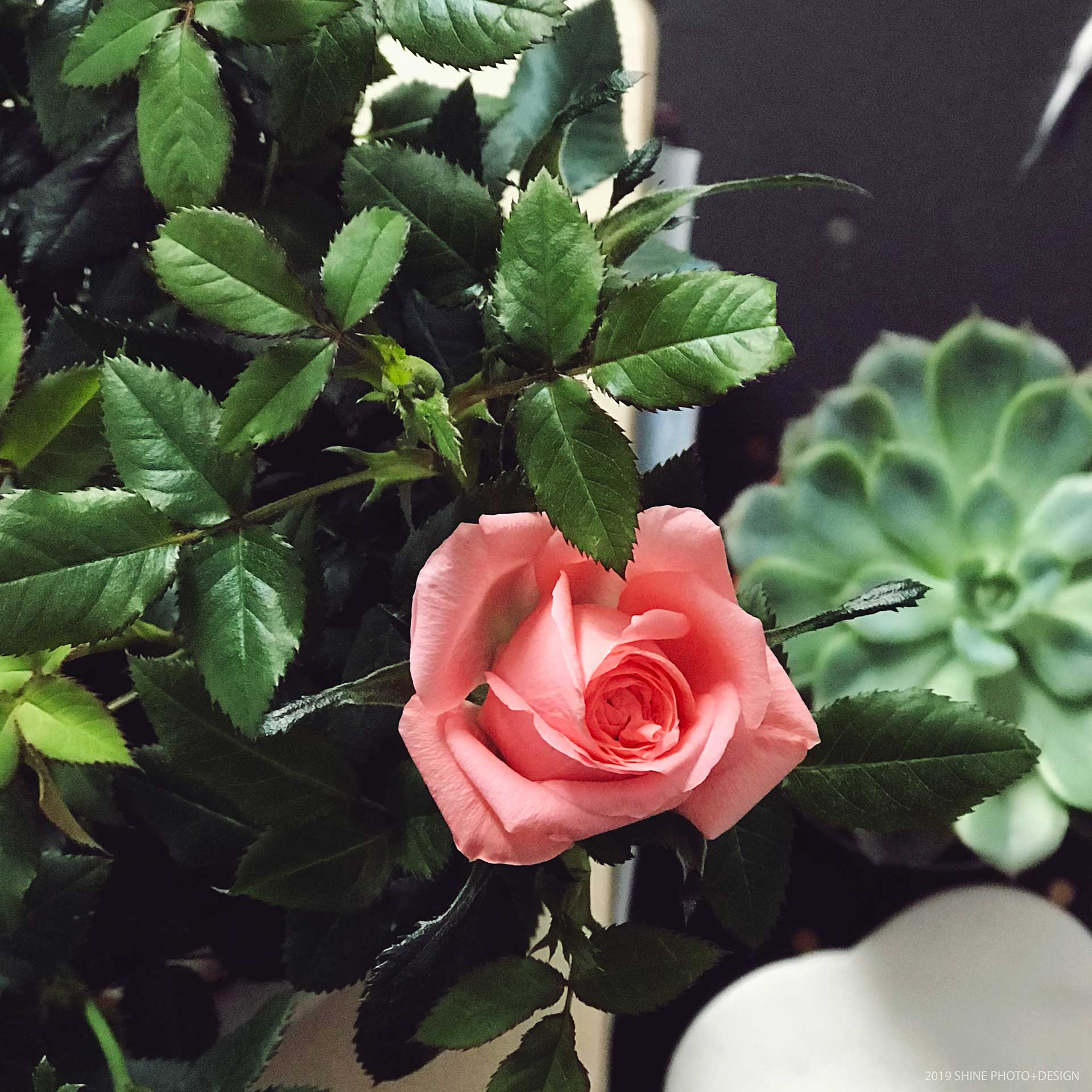 Teeny-tiny miniature roses. Just because.