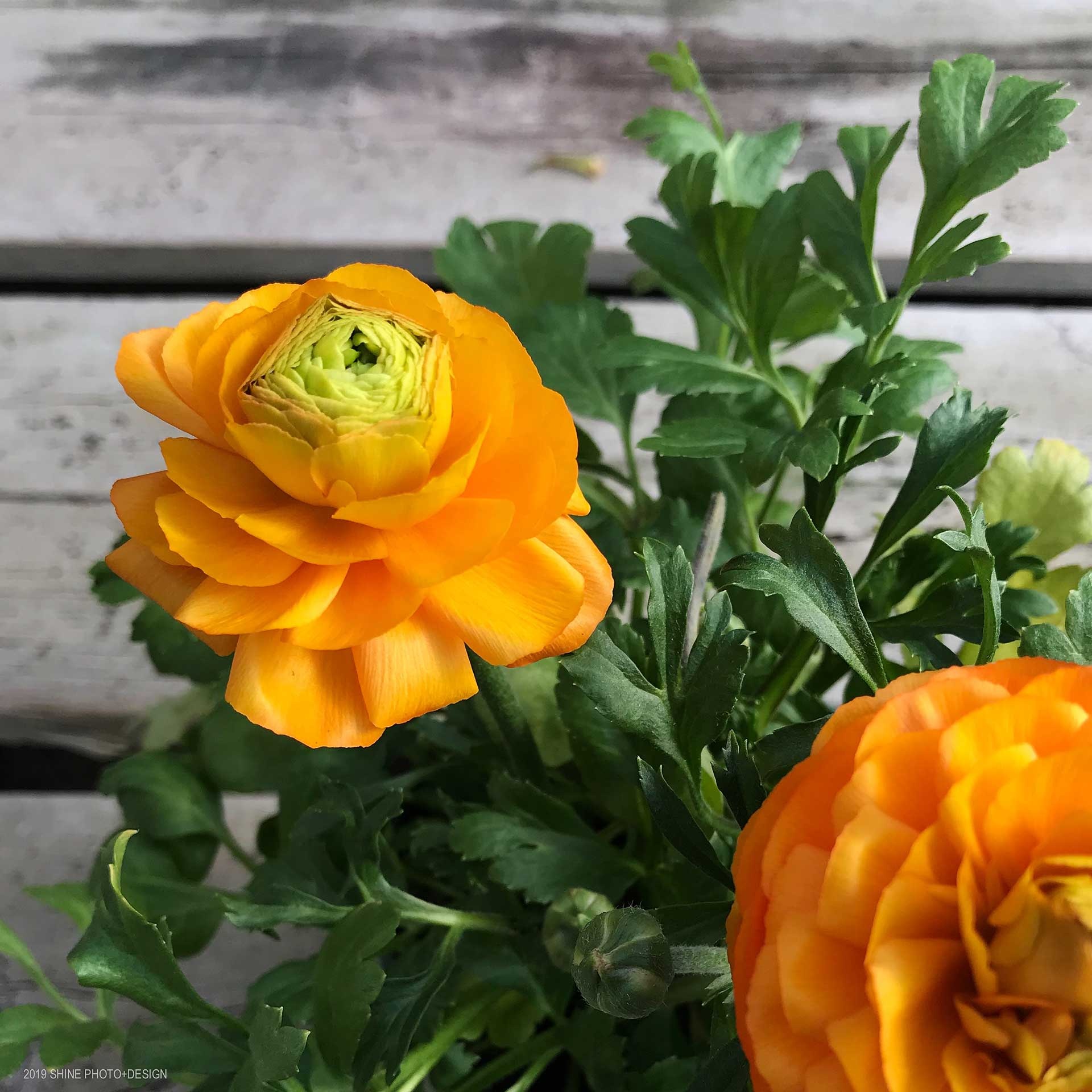 Ranunculus by Shine Photo Design