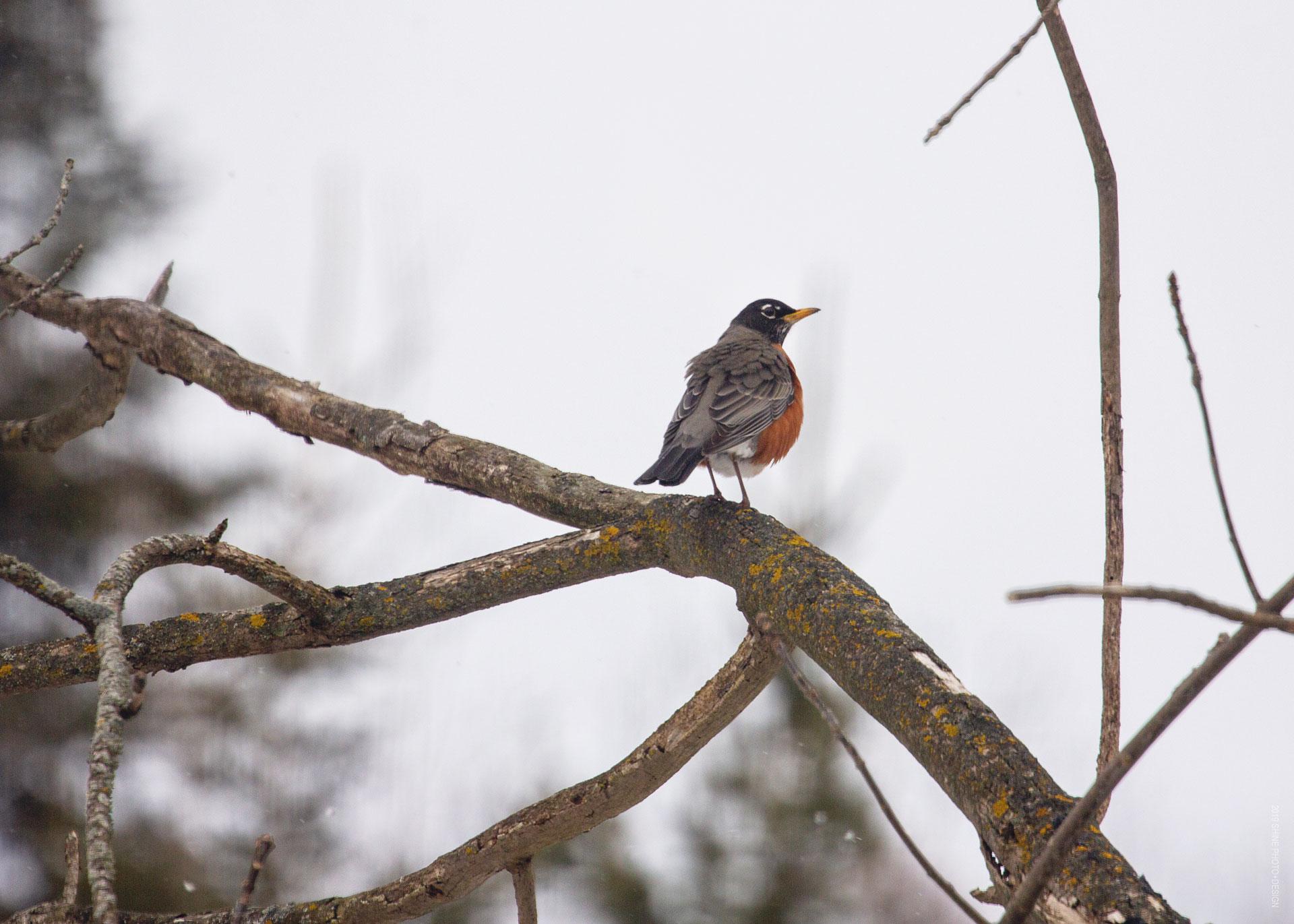 Robin by Shine Photo Design