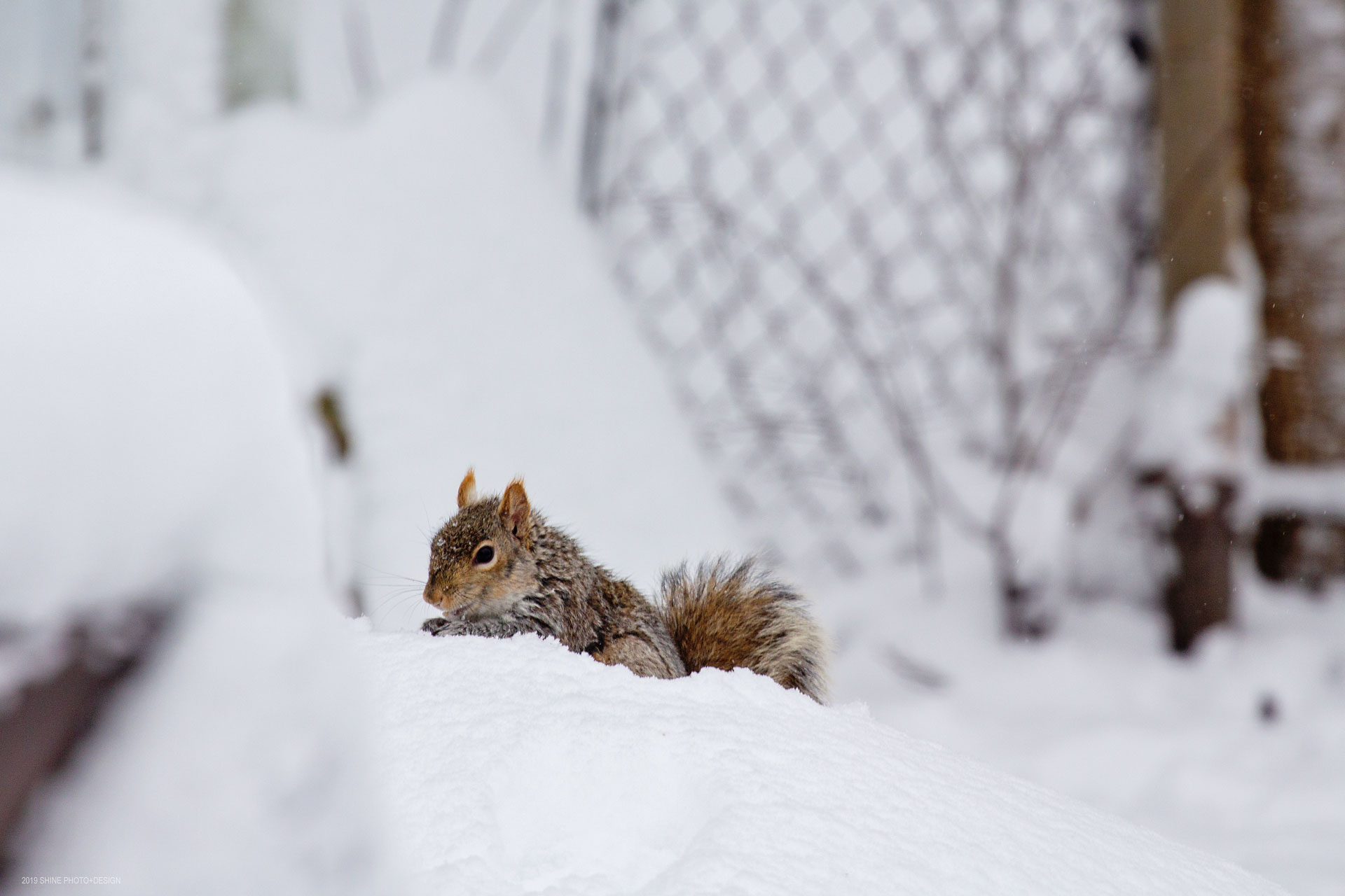 Winter Squirrel by Shine Photo Design
